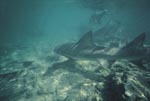 Lemon Shark and Bull Sharks in shallow water