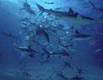 Shark Rodeo - Caribbean Reff Sharks and Blacktip Sharks