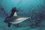 Shark Rodeo - Caribbean reef sharks and Blacktip Sharks