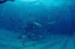 Caribbean Reef Sharks and Blacktip Sharks
