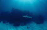 Blacktip shark before dense vegetation