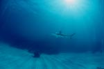 Blacktip shark and diver