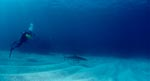 Caribbean reef shark and diver