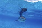 Direct encounter with the Tiger Shark (Galeocerdo cuvier)