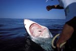 Great White Shark - Open Jaws