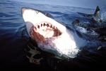 A great white shark with an open mouth at the sea surface