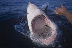 Photo inside a Great White Shark ´s mouth