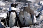 Adult and juvenile African penguins