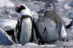 African Penguin adult and juveniles