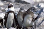 African Penguin with juveniles