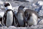 African Penguin Chicks with parent