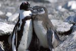African Penguin with young penguins