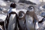 Adult and two juvenile African penguins
