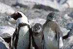 African Penguin with two juveniles