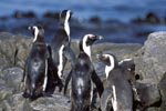 African Penguins on rocky ground
