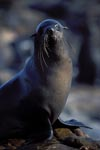 Fur Seal on Geyser Rock