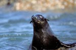 Fur seal on the lookout