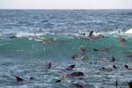 Seals like a strong swell