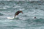 Jumping fur seal