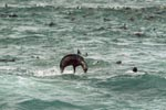 Jumping fur seal in the swell