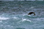 Seals in the surf