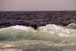 Fur Seal in the surf