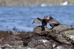African black Oystercatcher and Bank cormorant