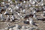 Concentration of Swift terns