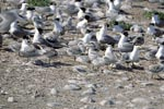 Swift terns on Dyer Island