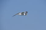 Swift tern on cloudless sky