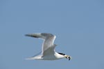 Swift tern returns with prey