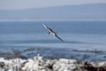 Swift tern returns back to the island