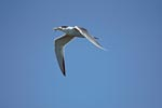 Flying Swift tern with fish