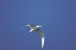 Flying Swift tern in the blue sky