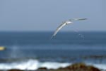 Swift tern move onto the sea