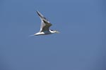 Swift tern in flight