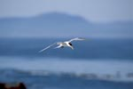 Swift tern comes back from the sea
