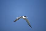 Swift tern returns to Dyer Island