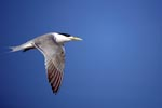 Flying Swift tern