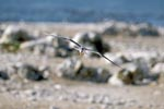 Swift tern flies over the island
