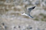 Flying Swift tern Dyer Island