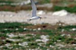 Swift tern with fish prey