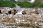 Swift tern lands