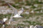 Flying Swift tern with fish prey
