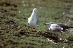 Hartlaub´s gull with two young birds