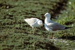 Hartlaub´s gull with young gull