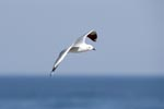 Hartlaub´s gull over the sea