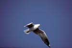Hartlaub´s gull over the ocean