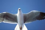 Hartlaub´s gull from below