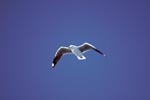 Hartlaub´s gull on blue sky
